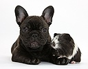 Dark brindle French Bulldog pup and Guinea pig
