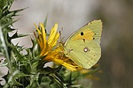 Clouded Yellow butterfly on thistle