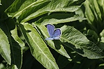 Idas Blue butterfly