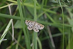 Laticed Heath moth