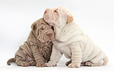 Two Shar Pei pups