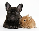 French Bulldog pup and baby bunny