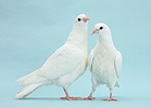Two white doves on blue background