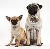 Fawn Pug and Chug (Pug x Chihuahua), sitting