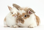 Brown-and-white rabbit and baby bunny