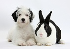 Jack-a-poo pup with black-and-white Dutch rabbit
