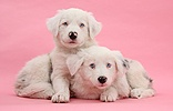 Mostly white Border Collie pups on pink background