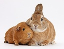 Red Guinea pig and rabbit