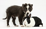 Blue-and-white Border Collie pup and black Dutch rabbit