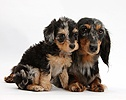 Dachshund and Daxiedoodle puppy