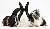 Black Dutch rabbit and young Guinea pigs