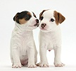 Two Jack Russell Terrier puppies, 4 weeks old