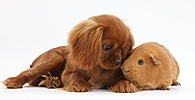 King Charles pup and red Guinea pig