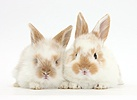 Two cute baby rabbits