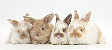 Four cute baby rabbits