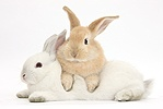 Sandy rabbit lounging over white rabbit
