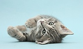 Tabby kitten on his back on blue background