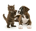 Brindle Boxer pup and chocolate kitten