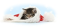 Cute tabby kitten, asleep in a Santa hat