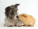 Jack Russell x Westie pup with yellow Guinea pig