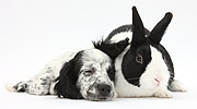 Sleepy black-and-white puppy with rabbit