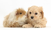 Cute Cavapoo pup and shaggy Guinea pig