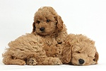 Cute sleepy F1b Goldendoodle puppies