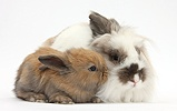 Brown and white rabbit and baby bunny