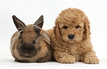 Cute F1b Goldendoodle puppy and rabbit