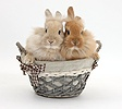 Two Lionhead-cross bunnies in a basket