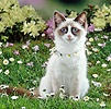 Ragdoll cat wearing a daisy chain