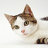 Tabby-and-white cat portrait