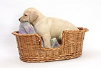 Yellow Labrador puppy chewing his blanket