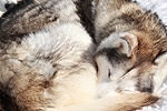 Husky curled up and sleeping