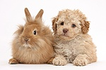Cute Toy Labradoodle puppy and fluffy bunny