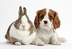 Blenheim Cavalier pup and Netherland Dwarf rabbit