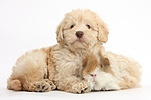 Cute Toy Goldendoodle puppy and Guinea pig