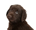 Liver Flatcoated Retriever puppy, 6 weeks old