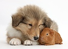 Sable Rough Collie puppy and baby red Guinea pig