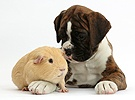 Boxer puppy and yellow Guinea pig