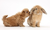 Peekapoo pup and Sandy Lop rabbit