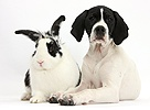 English Pointer puppy and rabbit