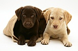 Chocolate and Yellow Retriever pups in a cloth bag