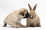 Fawn Pug pup, 8 weeks old, pawing at young rabbit