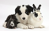 Black-and-white Border Collie pup, rabbit and Guinea pig