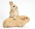 Young bunny leaning on yellow Guinea pig