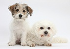 Bichon Frise and Bichon x Jack Russell puppy