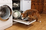Border Collie licking a dishwasher