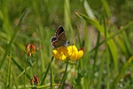 Brown Argus Butterfly on Birdsfoot Trefoil