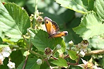 Gatekeeper Butterfly on bramble